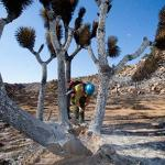 Joshua trees in record bloom out West
