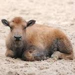 Bison Calf Euthanized After Yellowstone Tourists Put It In Their Car To 'Keep It Warm'