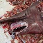 This Giant, Pink Goblin Shark Caught In Gulf Of Mexico Will Haunt Your Dreams
