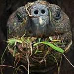 Endangered Tortoises Make a Salad of Harmful Invaders