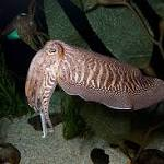 Cuttlefish Holds Clues to Camouflage