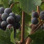 Norwegian Pinot Noir?: global warming to drastically shift wine regions