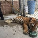 Tiger Found Wandering Streets of Suburban Houston