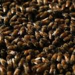 40000 Bees Evicted From Home In NYC -- Queen And Colony Moved Upstate ...
