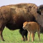 Yellowstone National Park to Kill 1000 Bison This Winter