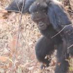 Chimp-on-chimp violence: a study in the roots of brutality