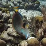 Study: Boosting parrotfish, sea urchins key to saving Caribbean coral reefs from ...