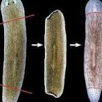 Biologists Create New Flatworm Species by Manipulating Electrical Synapses in ...
