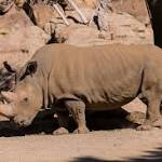 Death of Rare White Rhino Leaves 5 in the World