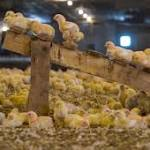 Perdue to pay for growers' animal-welfare improvements