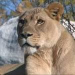 Female lions secluded after Dallas Zoo attack