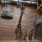 Do All Zoos Euthanize Animals Like Marius, the Copenhagen Giraffe?