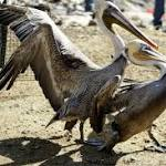 Sardine crash may be hurting brown pelicans