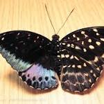 Strange Half-Male Half- Butterfly Baffles Scientists