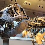 """T. rex Autopsy Goes into the """"Belly of the Beast"""" and Beyond"""