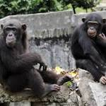 Chimpanzees Are Not Entitled to Human Rights, New York Court Says