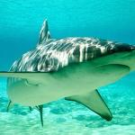 Shark Fin Soup a Thing of the Past? 5 Sharks Species Granted CITES Protection