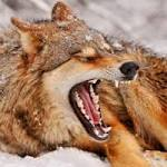 Yawning Contagious among Wolves too