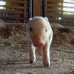 USDA Orders Farms to Report Pig Virus Infections