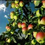 Apple growers hope for a crisp crop
