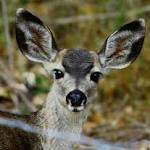 Malaria Parasite Carried by 1 in 4 US White-Tailed Deer