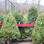 Season for getting a Christmas tree kicks off Black Friday, too