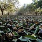 More orchards planted as almond prices fall