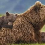 'Bears' an irresistible tale of animal survival