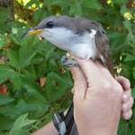 AZ's yellow-billed cuckoo receives federal protection