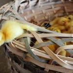 H7N9 flu outbreak: Ducks may be source