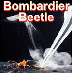 Bombardier beetle blasts exploding boiling spray from its bottom, scientists ...