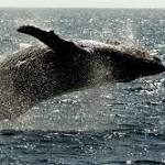 Humpback whales slow to arrive in Hawaii