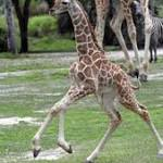 Freak accident kills young giraffe at Zoo Miami