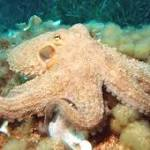 An Octopus Inspiration. Scientists Develop New Camouflage Sheet