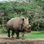 Extremely Rare White Rhino Dies in Kenya—His Kind Nearly Extinct
