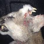 Bizarre photo of deformed mountain lion with teeth on forehead not a fake