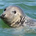 Gray seal resurgence stirs call for hunt