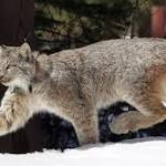 Wildlife activists say new U.S. lynx protections fall short