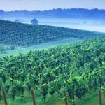 Pandas vs pinot as vineyards adjust to warming