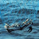 Scientific survey shows blue crab population dips