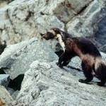 Proposal to protect wolverines withdrawn