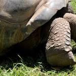 Galapagos Tortoises Enjoy Eating Invasive Plants