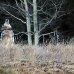Wolf Shot in Utah Could be First Northern Gray Wolf Seen at Grand Canyon in ...