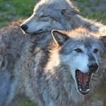 Is Yawning Contagious Among Wolves, Too?