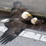 Bald Eagle Rescued From Central Florida Storm Drain Dies