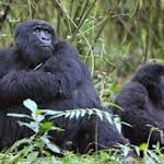 Mountain Gorillas may survive for ages because they have Resistance to the ...