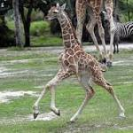 Young giraffe euthanized at Zoo Miami after spinal injury