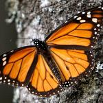 On A Wing & A Prayer: Loudoun Wildlife Looks To Boost Monarch Numbers