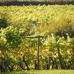 Vineyards Could Shrink 73 Percent by 2050