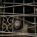 Two chimpanzees have been officially recognized as legal persons